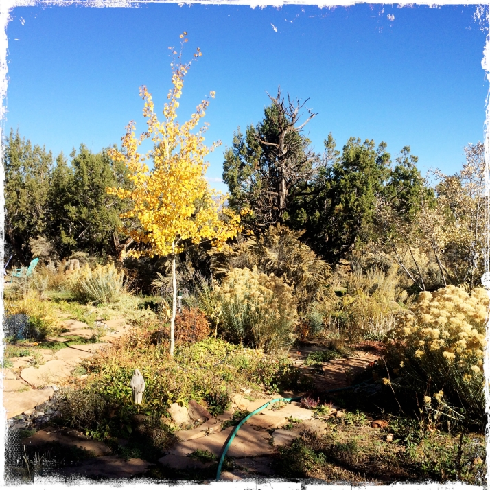 This little aspen tree that sprang up unexpectedly from a transplant out of Linda's garden comes into its own this fall as a focal point in the garden.