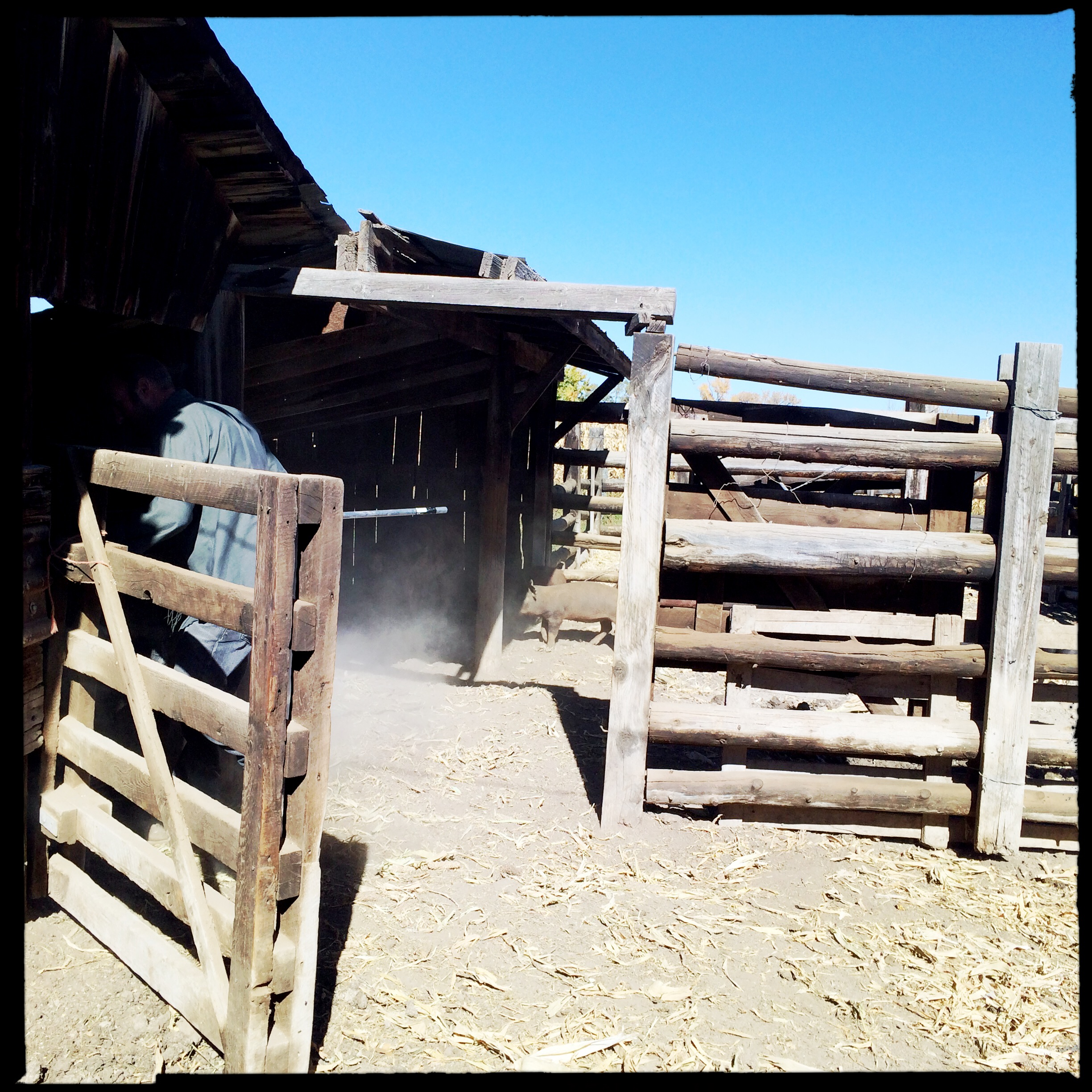 Adventures with Pigs: Farmer Dave kicks up dust chasing piglets.
