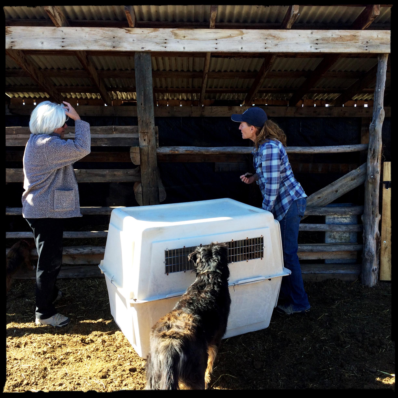 Unloading the fifth piglet at Farmer Bill's pigpen on Fruitland Mesa.