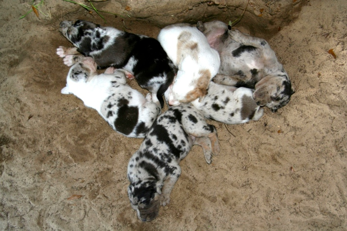 Even as a puppy Raven liked to lie on her back. She's in the top right corner of the litter.