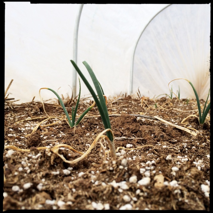 "I'd say maybe 35% of the Vidalia onions in the hoop house made it through winter. I texted this image to David, who sent me the starts last fall from Florida. ""Look who made it through the winter!"" I crowed in a text."