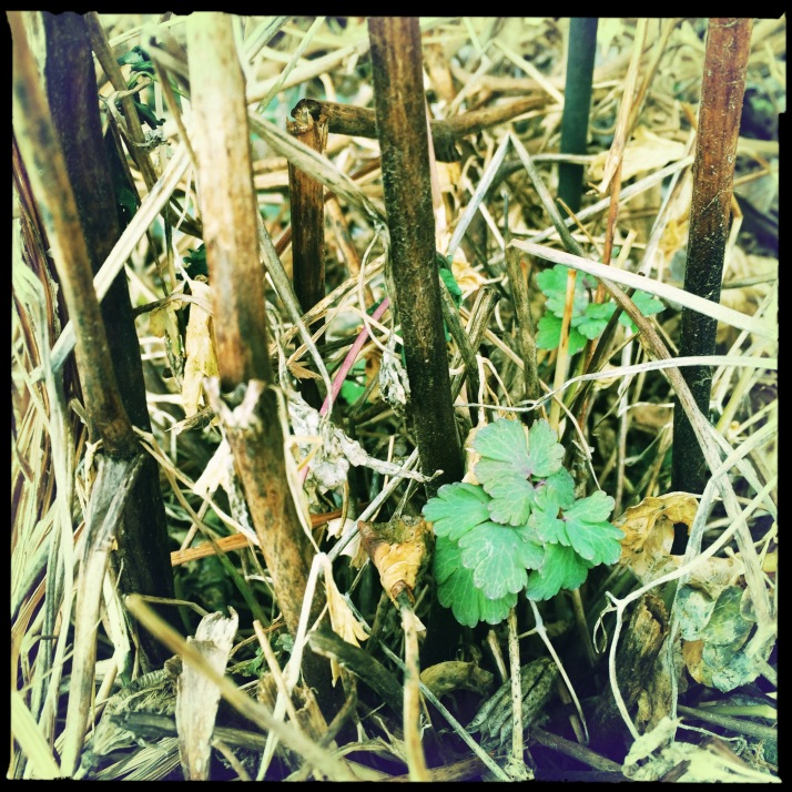 Time to break back the columbine stalks to free the new growth sprouting.