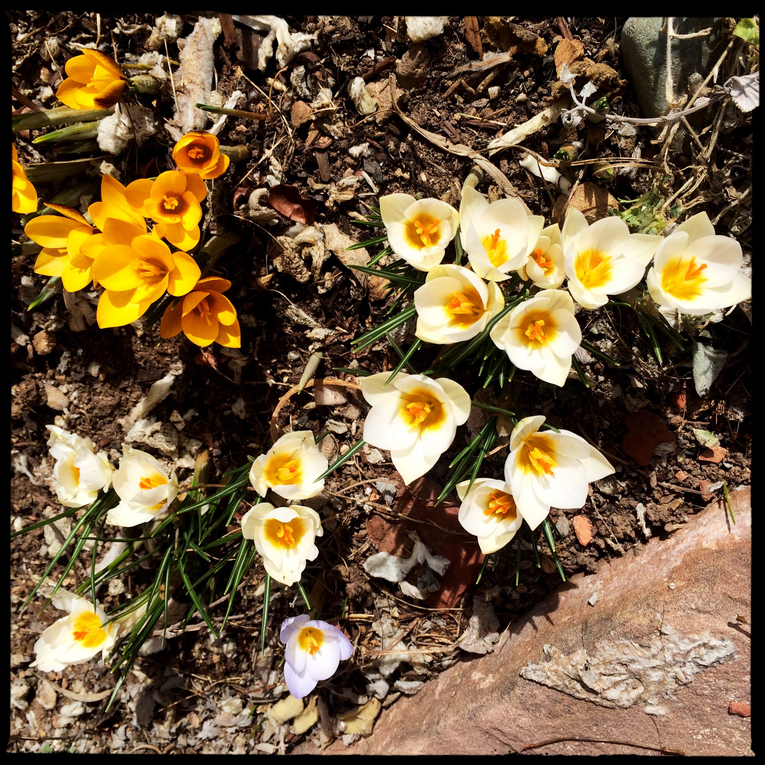 The first crocuses opened this morning, bereft of bees.