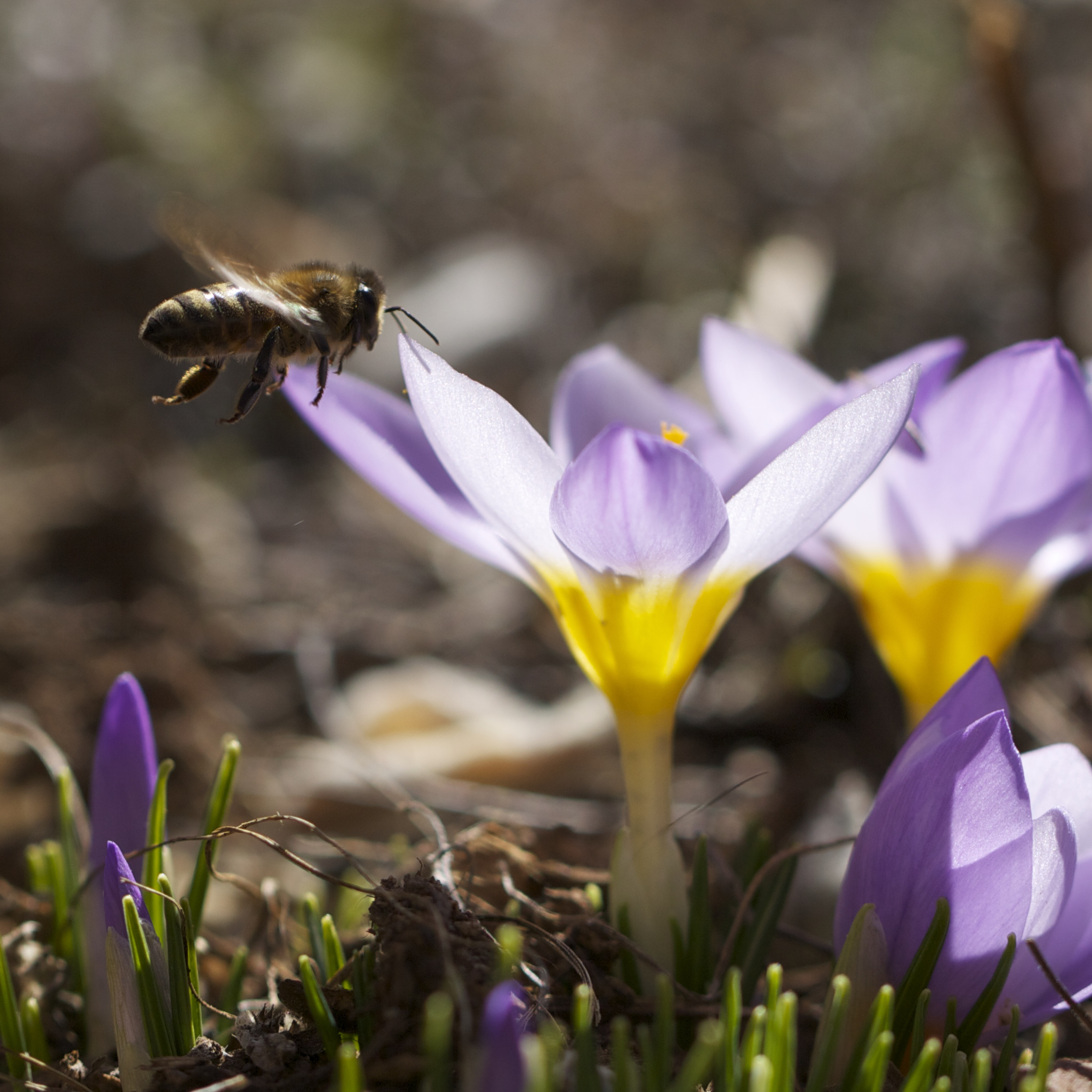 The return of bees to the early crocuses thrilled and salved my soul.