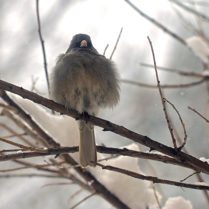 A dark-eyed junco fluffs in the desert willow outside my office window.
