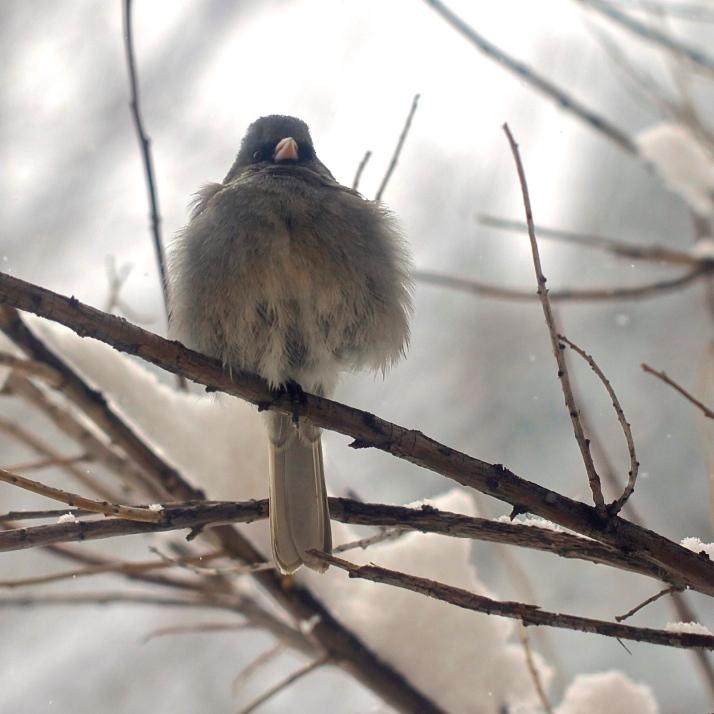 A dark-eyed junco fluffs in the desert willow outside my office window.