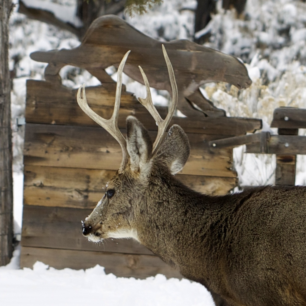 A young buck mule deer passes in front of the lion gate after digging and browsing around under the snow in the garden.