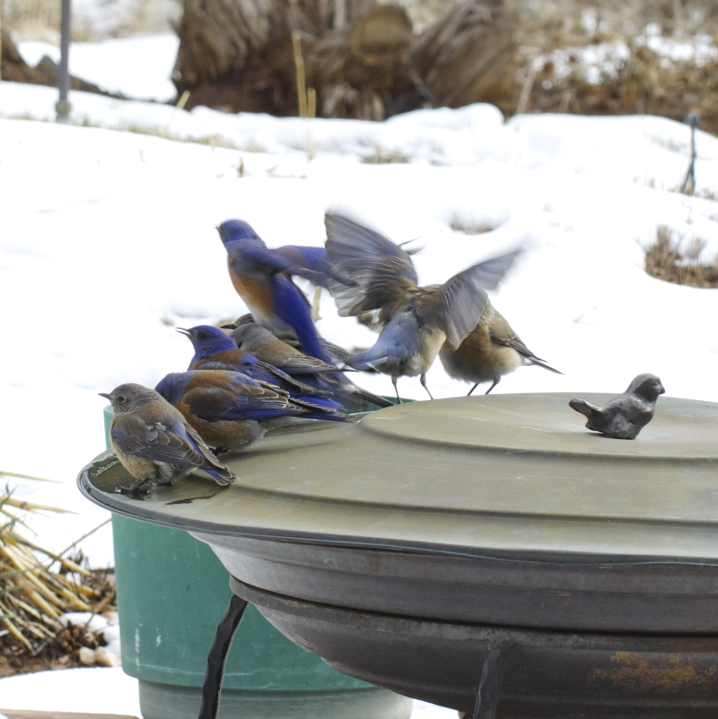 ... than a flock of western bluebirds descended.