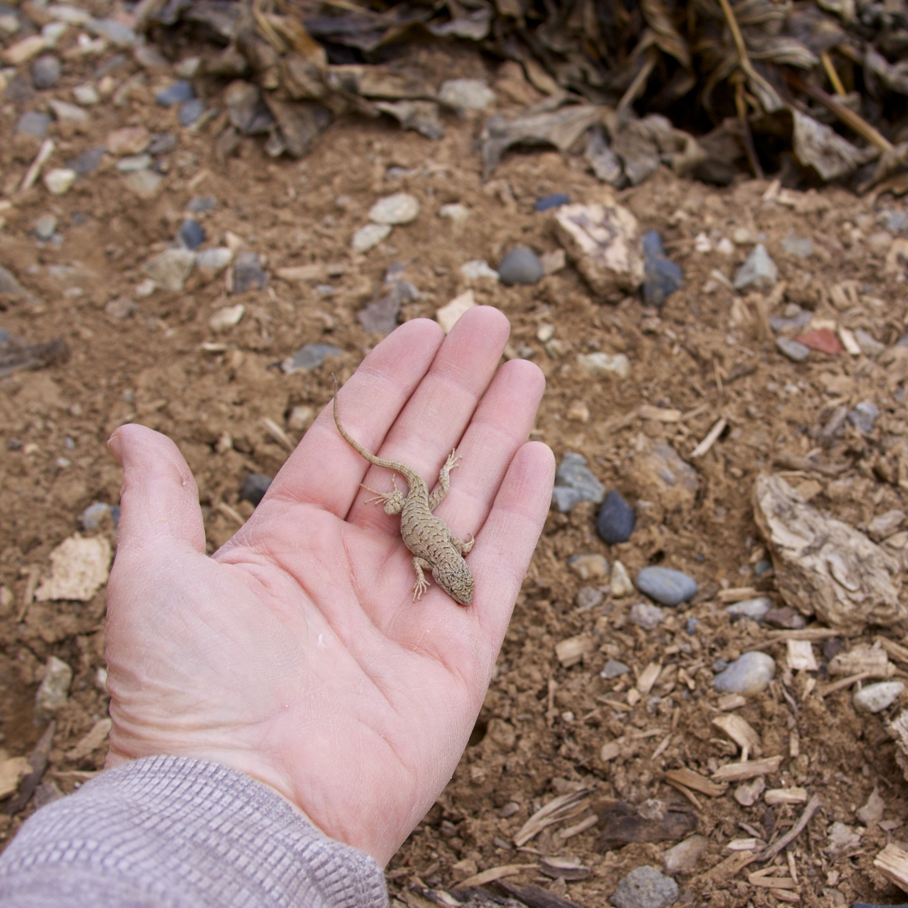 I rescued the first little lizard of the year from inside a friend's house.