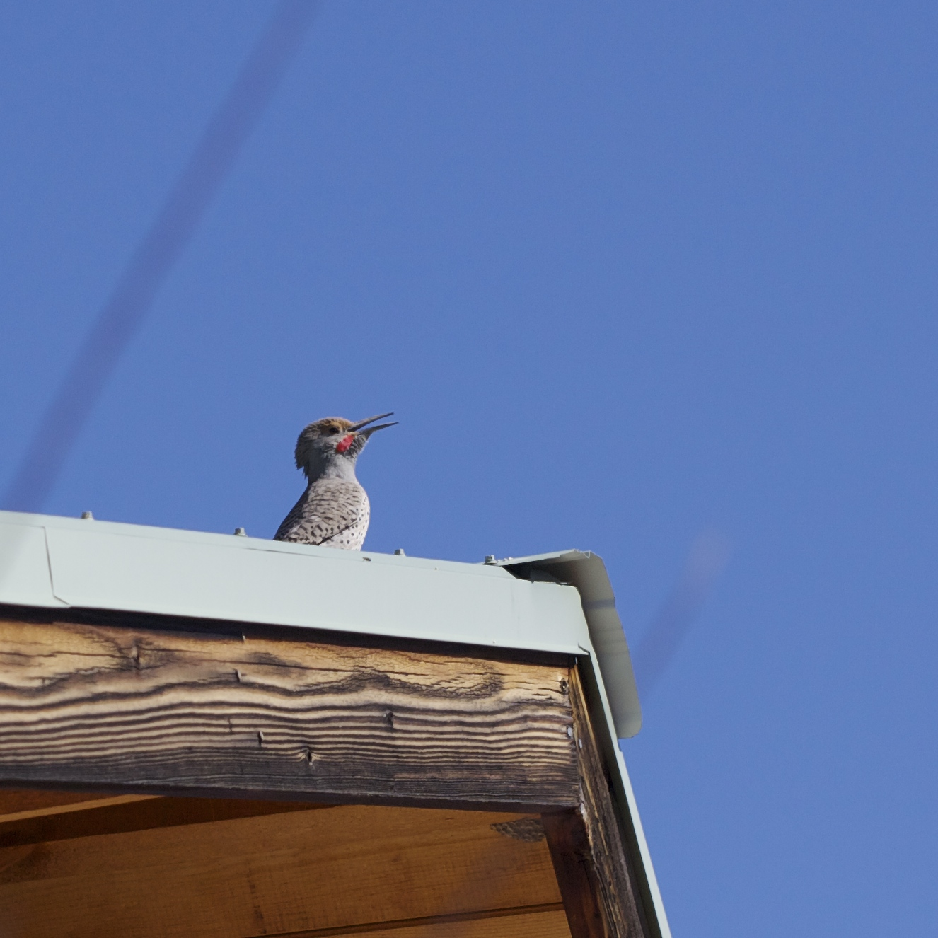 Each morning for weeks this flicker has greeted me, drumming on the roof cap and shrilling to the sky, calling for a mate, claiming his terrain. Oddly, the first time I heard him drilling on the roof, it put me right to sleep. I'd been tossing and turning, then recognized that startling staccato. It somehow signaled some security, and my body just let go, softened into the sheets, and fell back to sleep.