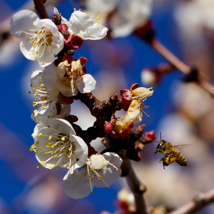 Honeybees have found the apricot tree, and I look at them differently. They're not my bees; they're the bees that preceded and competed with my bees, and they're the bees that ultimately brought the disease that killed my bees. They're beautiful, they're stoic bees, they're chemically treated bees.