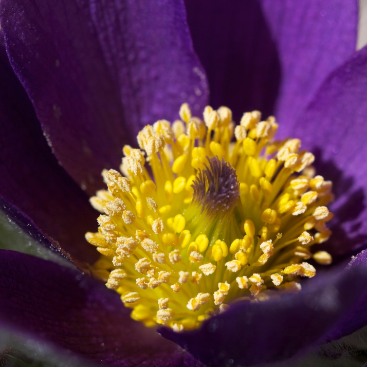 All the little pockets of pasqueflower growing at different rates, budding blooming expanding.