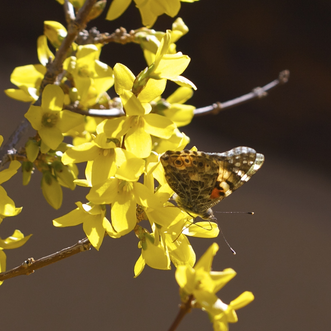 I remember last year forsythia covered in snow. This spring how it glows brilliant yellow and grows tall in full bloom.