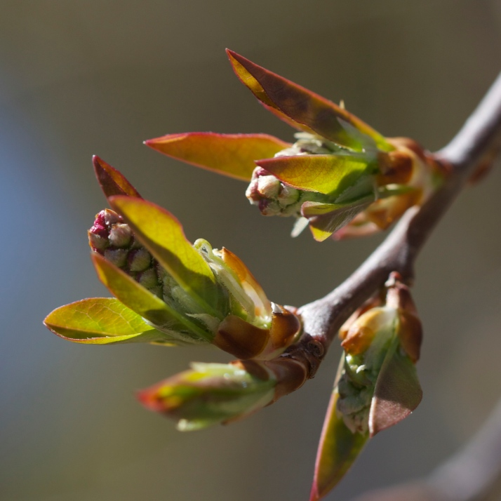 The first leaf and flower buds of chokecherries are opening.