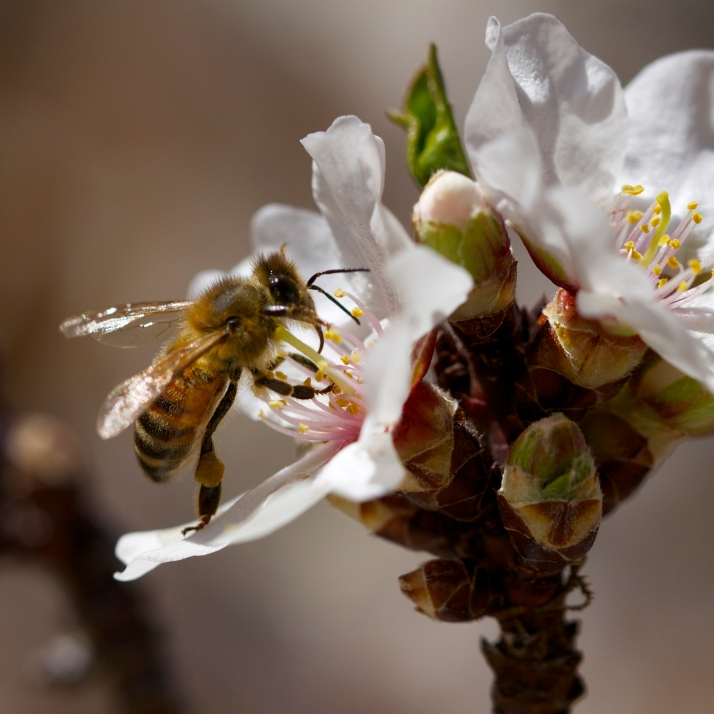Honeybees back on the sweet smelling almond tree.