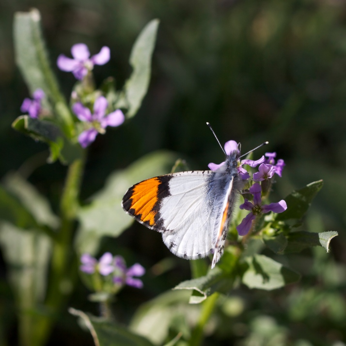 Orangetip butterflies were out in numbers today feeding on little purple mustards and the first rockrose to bloom.