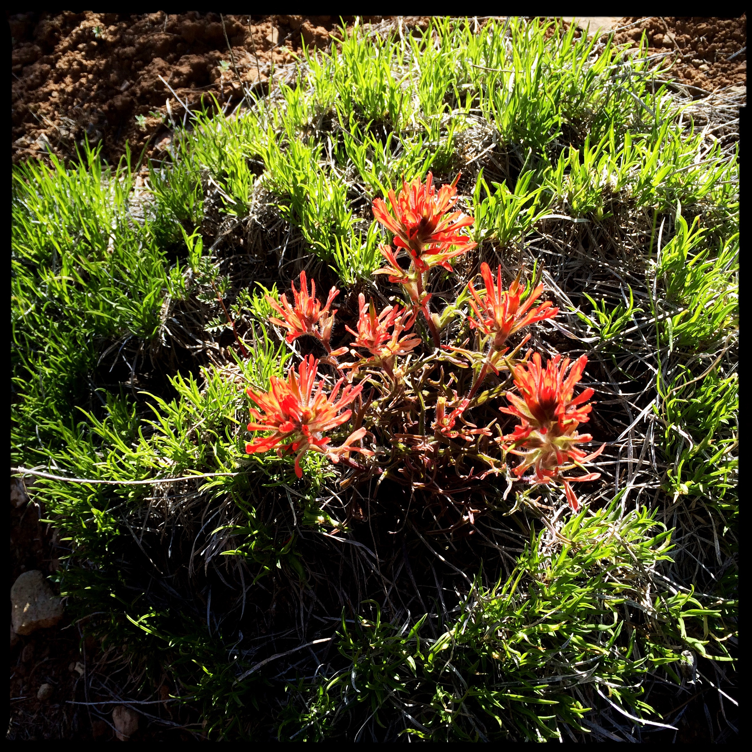 In the woods the wildflowers, which started so early like this Indian paintbrush are now more timely.