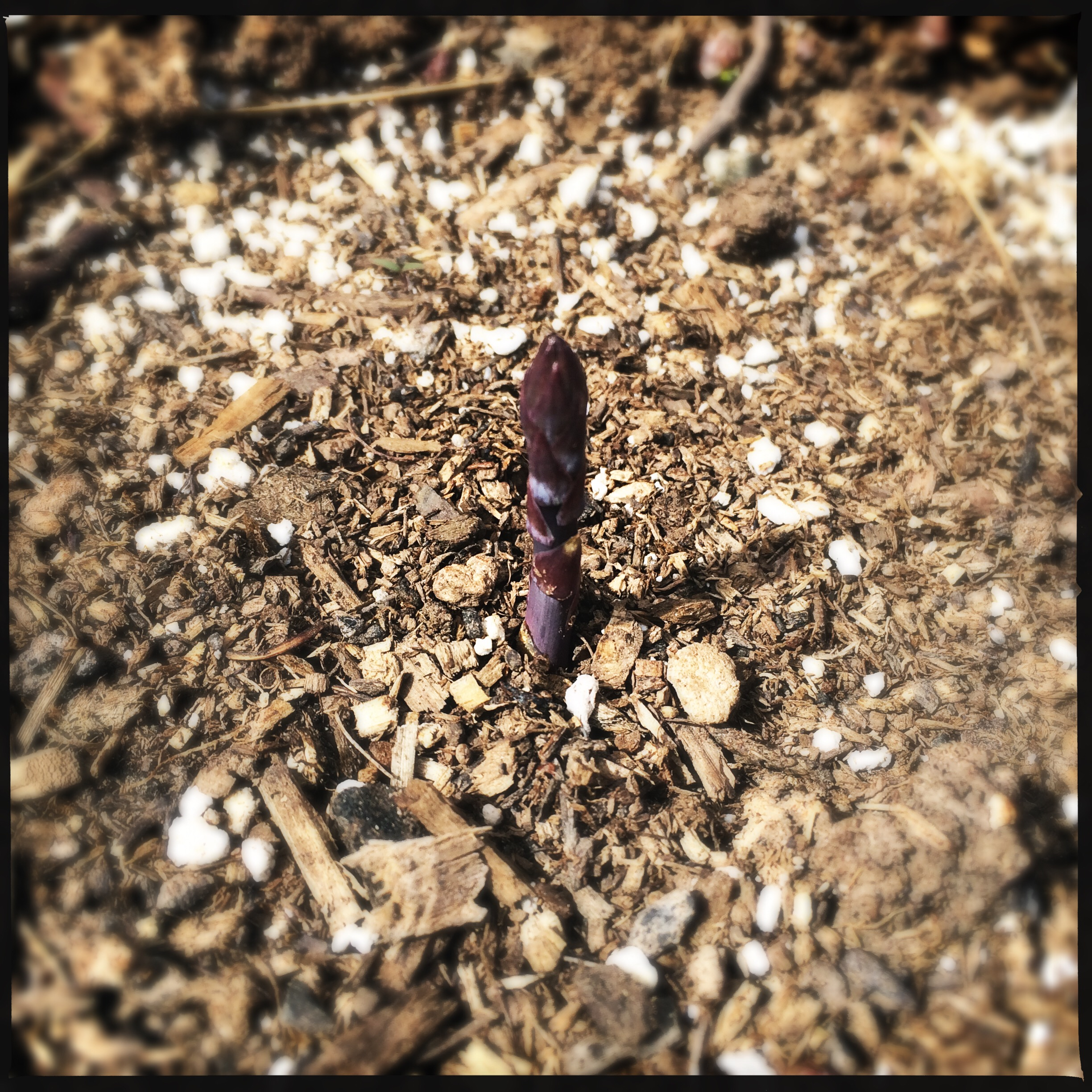The most beautiful thing I saw this week was the first purple asparagus spear poking up from the bed where I planted the crowns a couple of weeks ago.