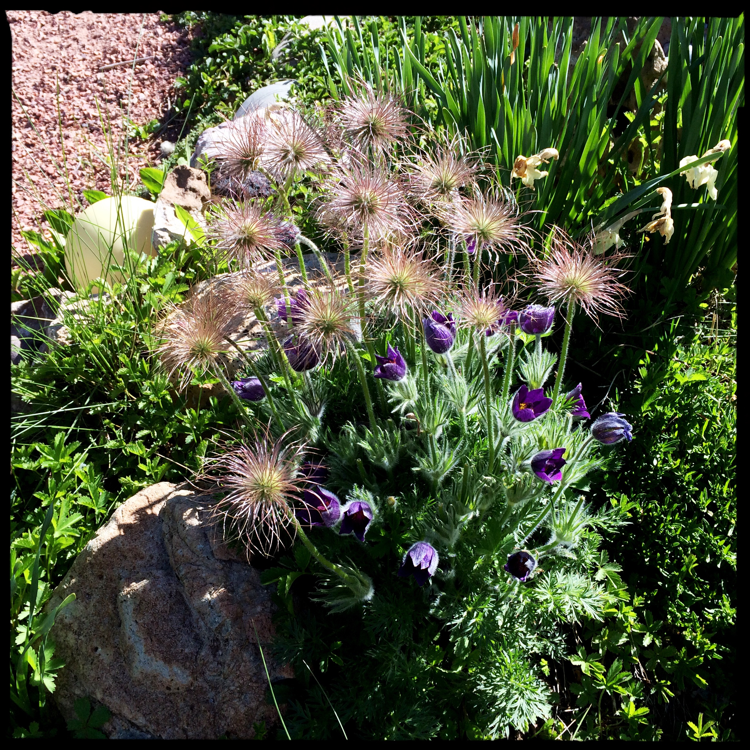 European pasqueflowers continue to delight myself and visitors with their lush purple blossoms and airy seedheads. I observed in another bed that the seedheads fall outward after they grow so tall, and thereby make a ring of babies around the mother plant.