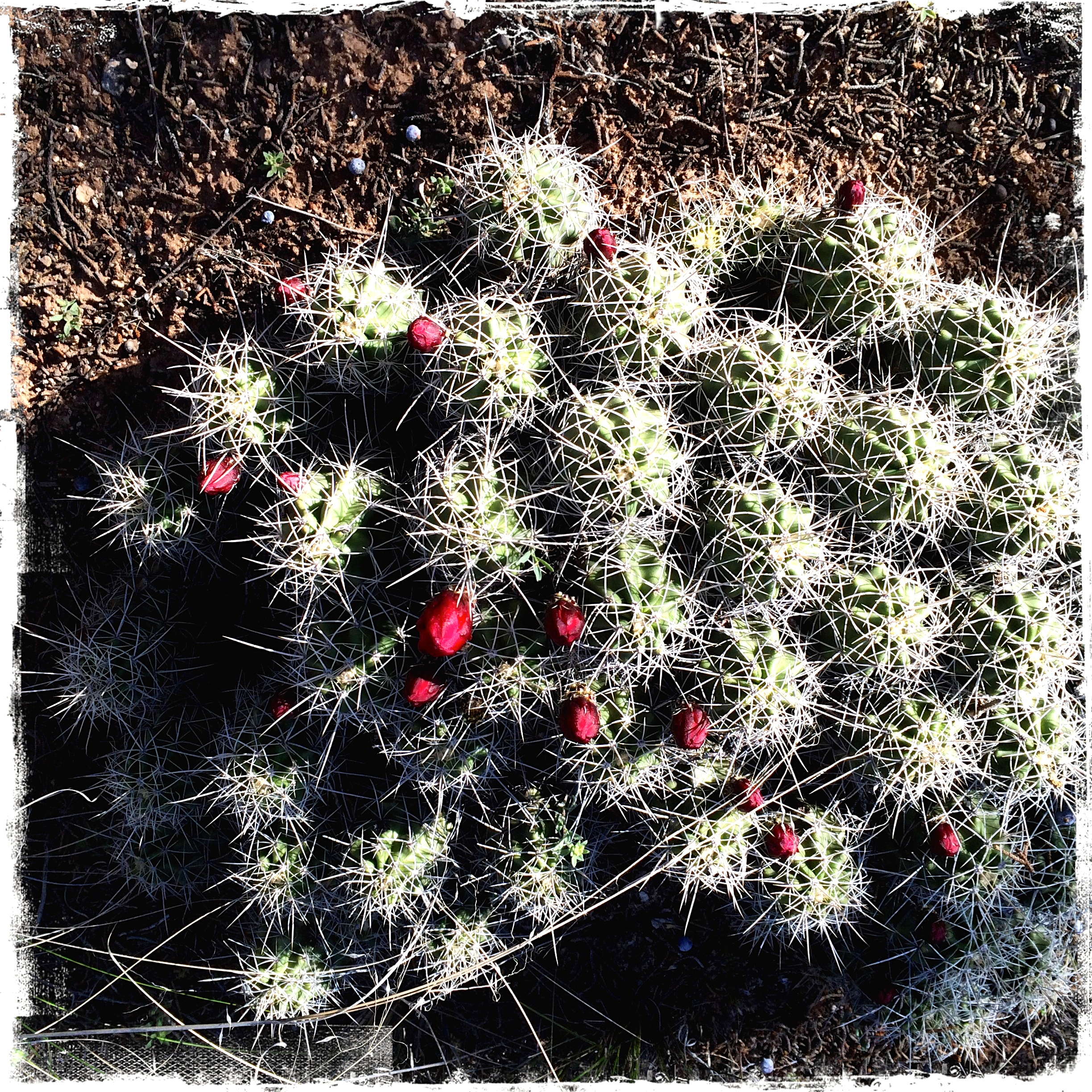 Claret cup cactus in the woods are full of buds from all the rain.