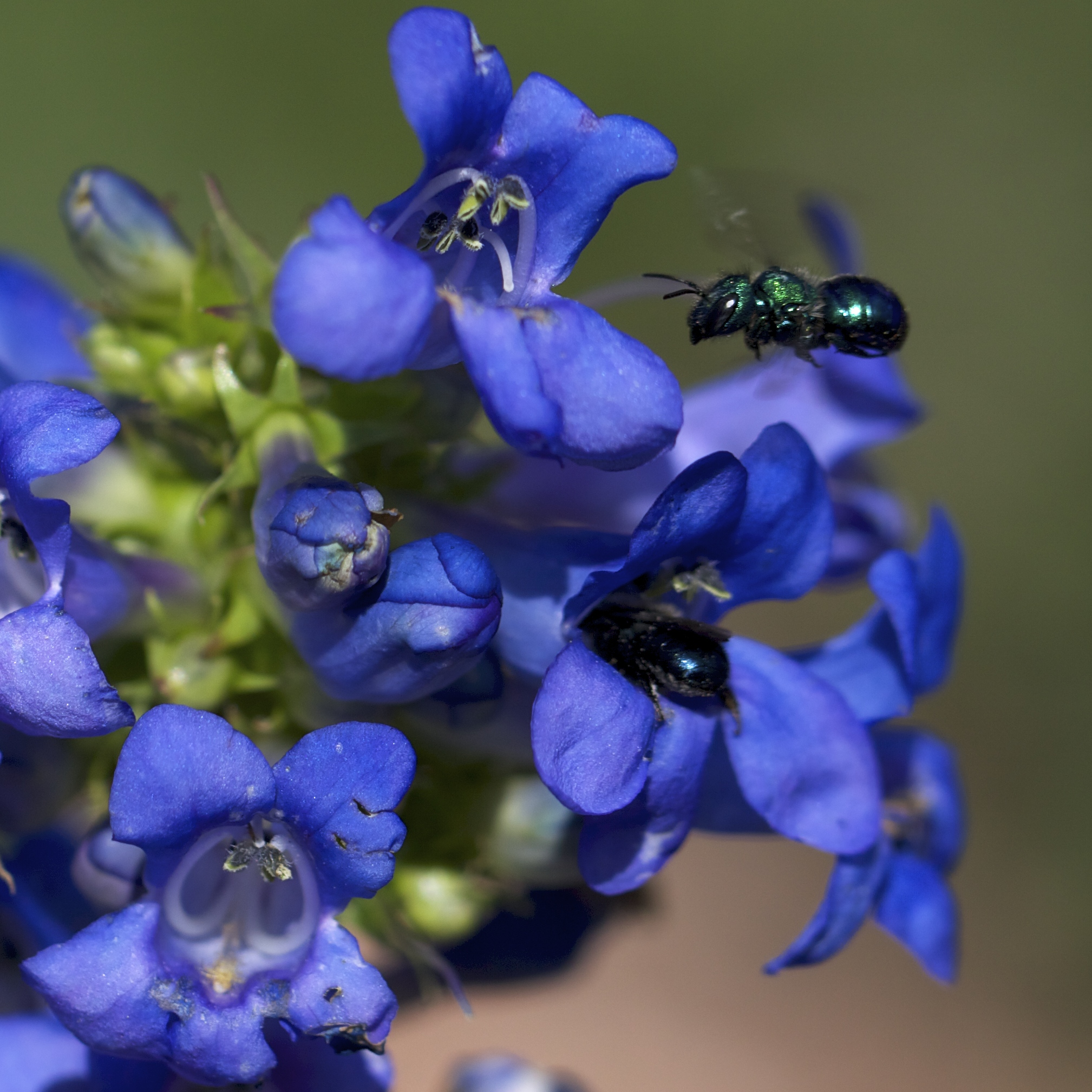 Two native Osmia, or orchard bees, enjoying the cerulean blooms of Penstemon cyananthus.