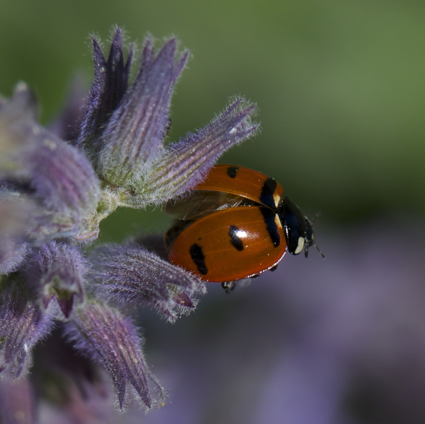 A ladybug taking off from the aging blossoms of catmint, Nepeta.