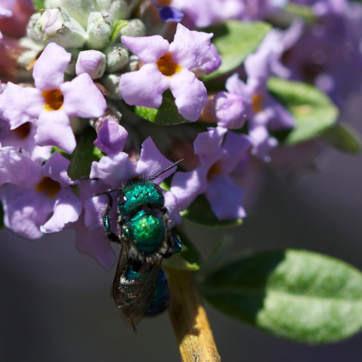 Yet another Osmia on the wild ancestor of the common butterfly bush, Buddleia alternifolia.