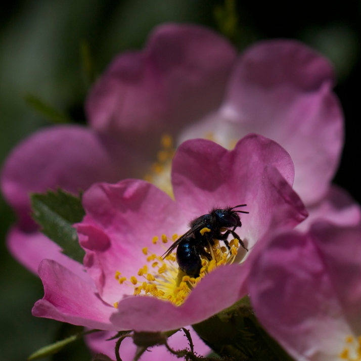 Wild rose, Rosa woodsii, blooms profusely, hosting many species of pollinators during its short bloom cycle.