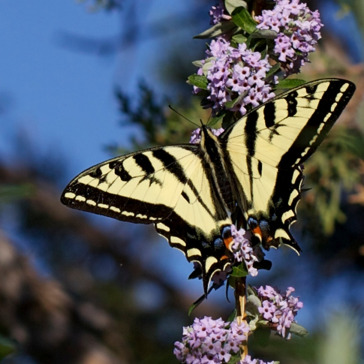 "This enormous shrub native to north-central China lives up to its common name of ""fountain butterfly bush"" with its arching sprays of richly scented flowers, attracting many species of butterflies including this western tiger swallowtail."