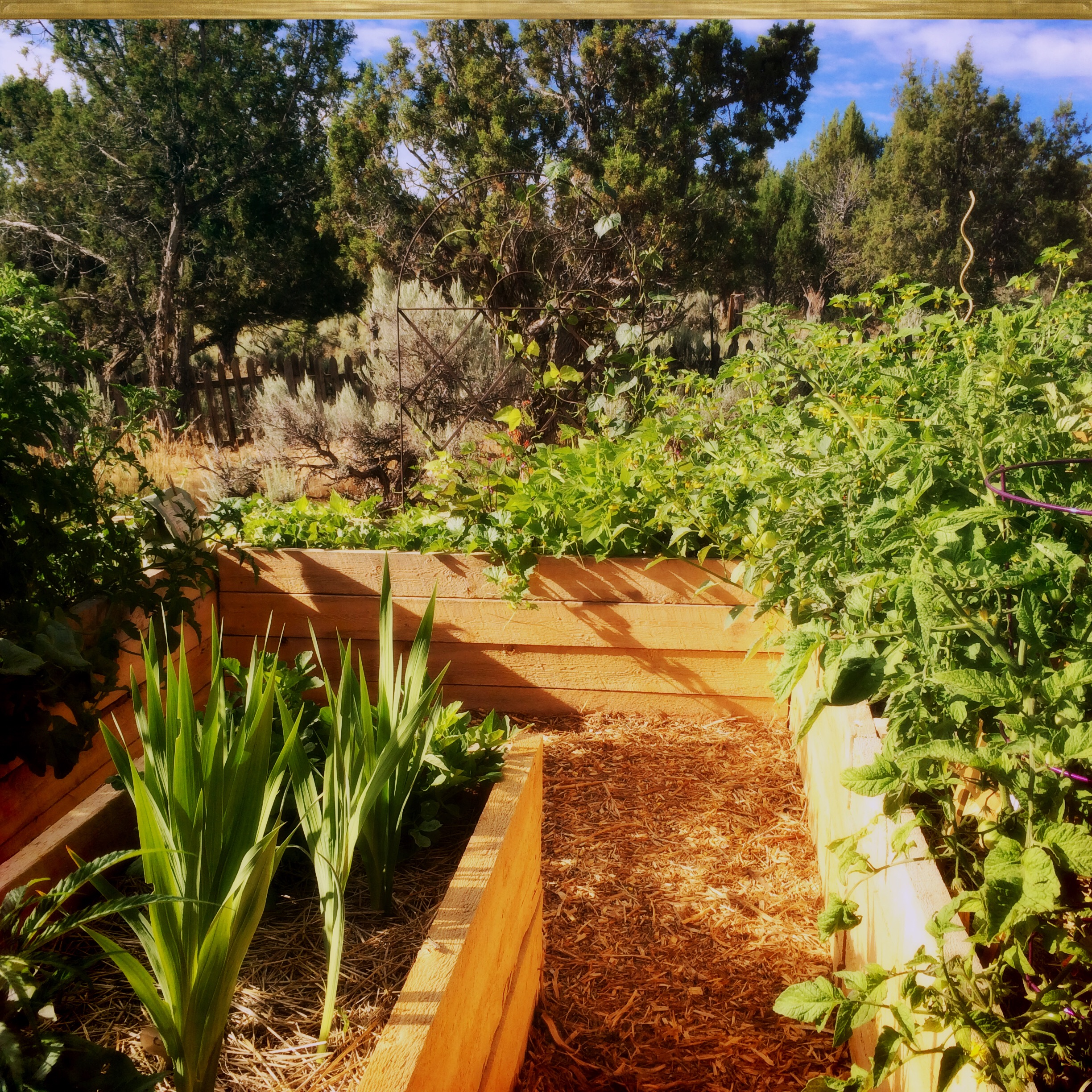 The raised beds from the entrance, looking south towards the bush beans and melons.