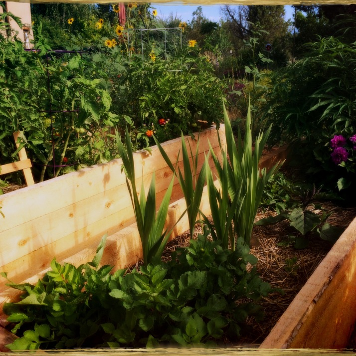 The raised beds, looking north from inside the horseshoe. Dahlias from seed, gladioli, tomatoes.