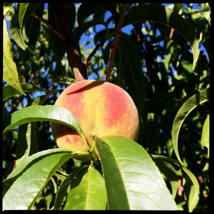 Two beautiful peaches are almost ripe on the tree a couple of days ago, and several more are green and growing.