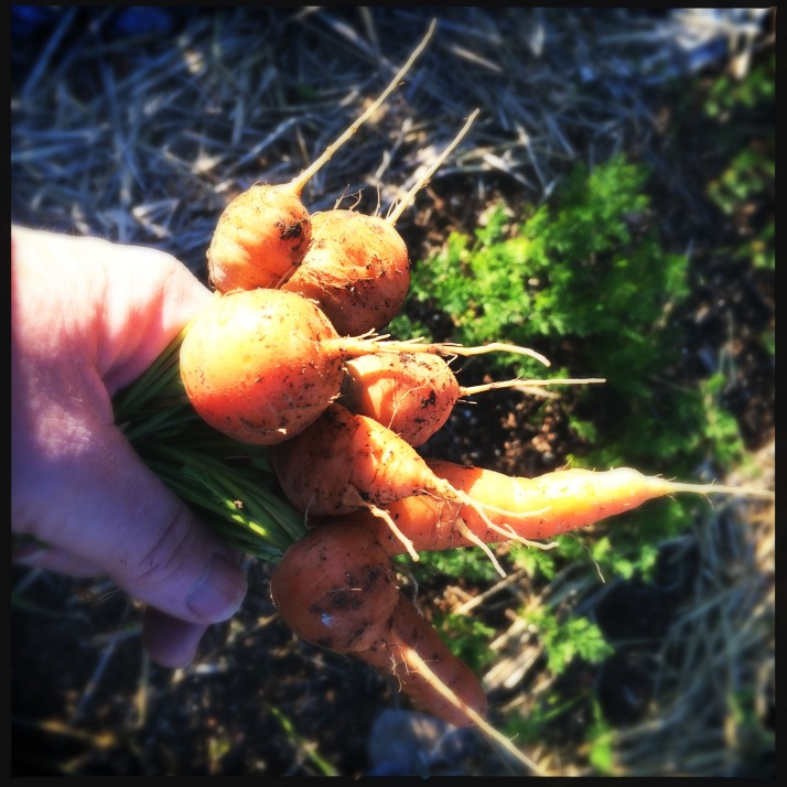 Carrots leftover in the ground from last fall, the little round French ones, and a couple of small Chantenays. The new carrots have not done well at all because of all the spring rain compacting the clay soil.