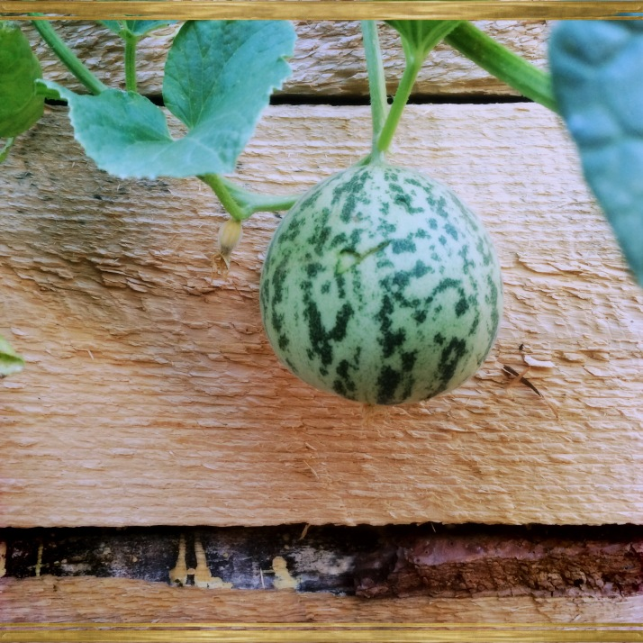 A sweet surprise yesterday morning, our first Tigger melon!