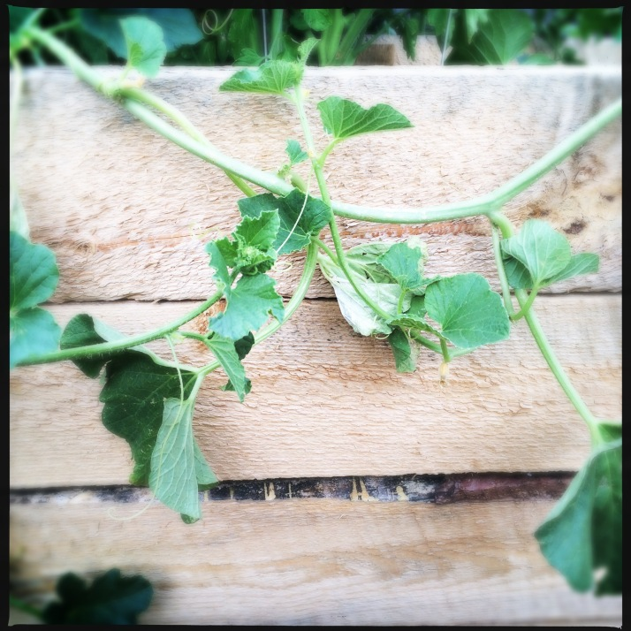 The Tigger melon vine this evening when I got home from work. Where did the melon go? Who stole it? My only harvest this year may be snapshots...
