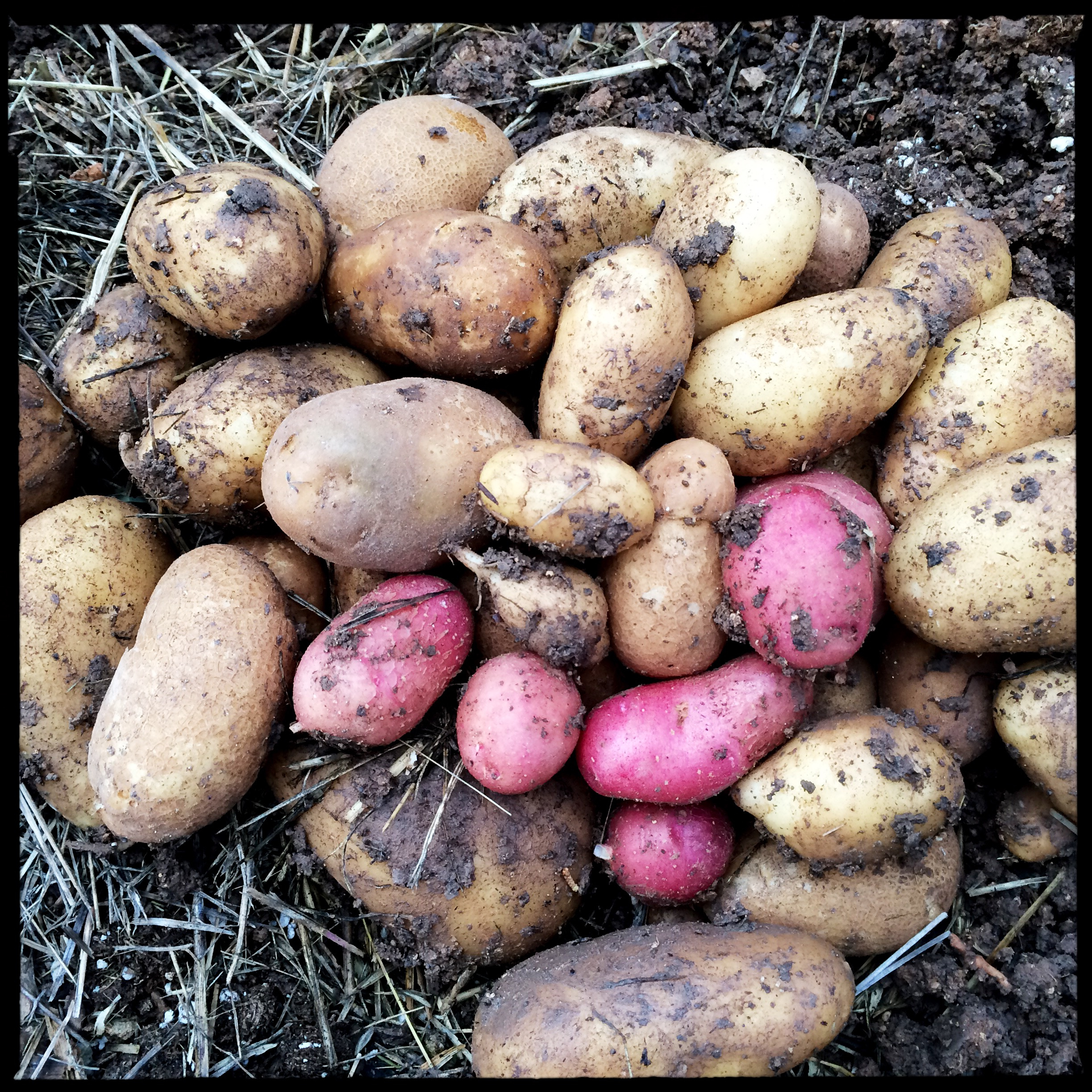 Potatoes went in late and spontaneously this spring, in a clayey bed; I just cut up some organic grocery store potatoes that were past their prime and stuck them in the ground. Despite all the spring rain compacting the soil, and me never seeing the tragic-looking plants flower, the Potato's drive to reproduce gave me a decent little harvest.