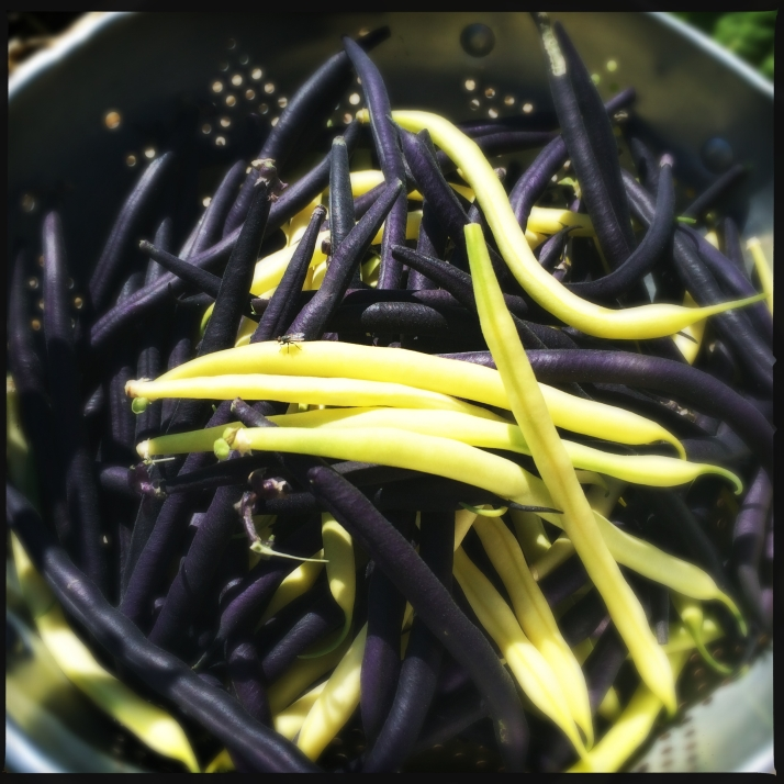 Purple velour and golden filet beans planted together in the raised bed gave up beans of both colors for months, providing lots of delicious marinated snacks and several bags for freezing.