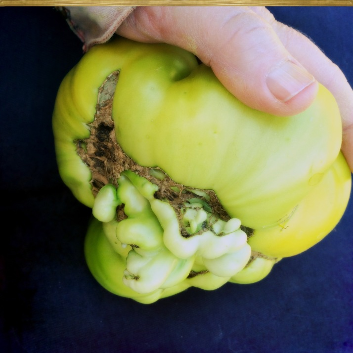 One weird looking tomato..