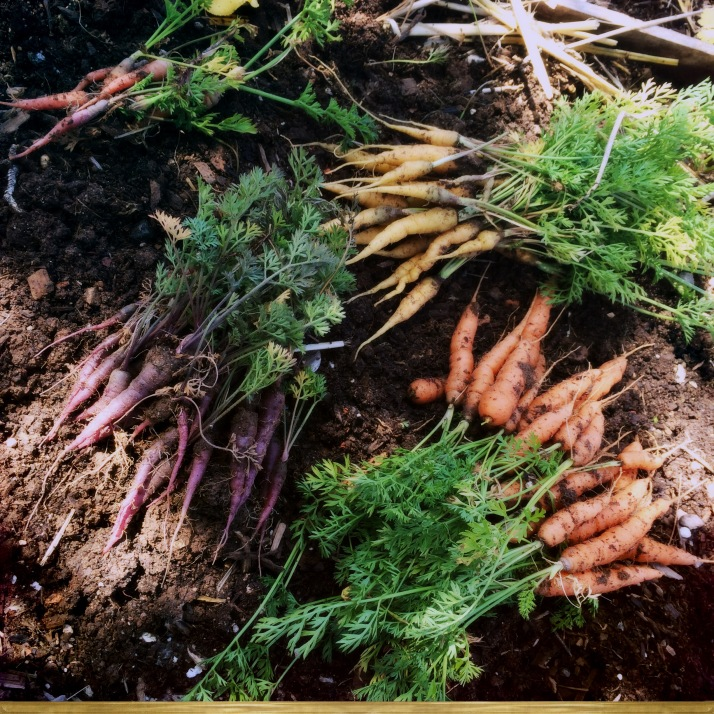 The entire carrot harvest for the year, not one of them more than three inches long. This bed needs serious soil amending before next spring. Just as I suspected, the clay soil compacted so hard that they simply couldn't grow, so...
