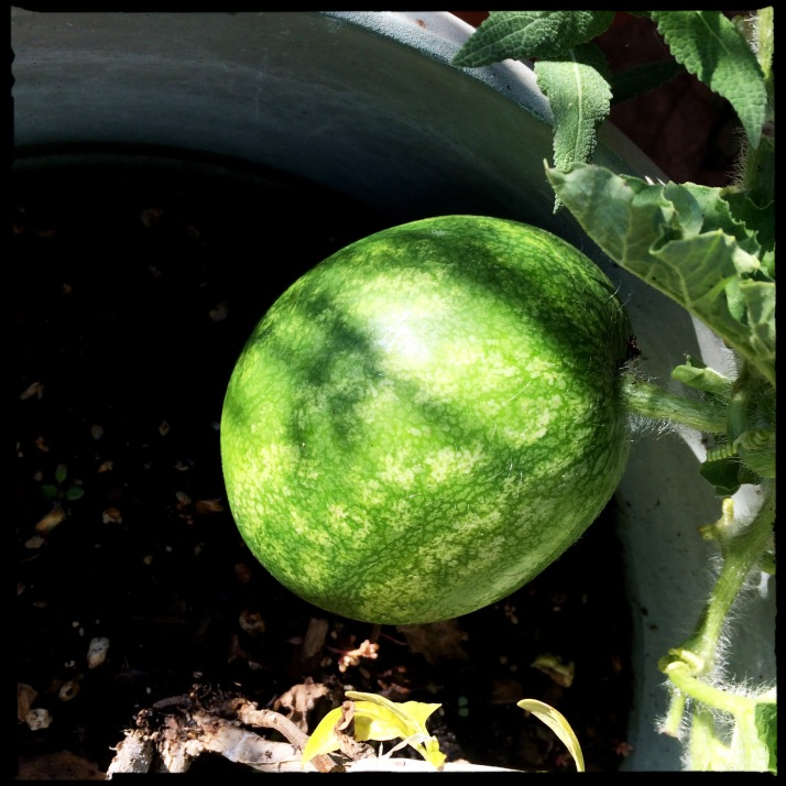 The best surprises of the week, a hidden watermelon, Patio Baby variety, hanging from the potted plant...
