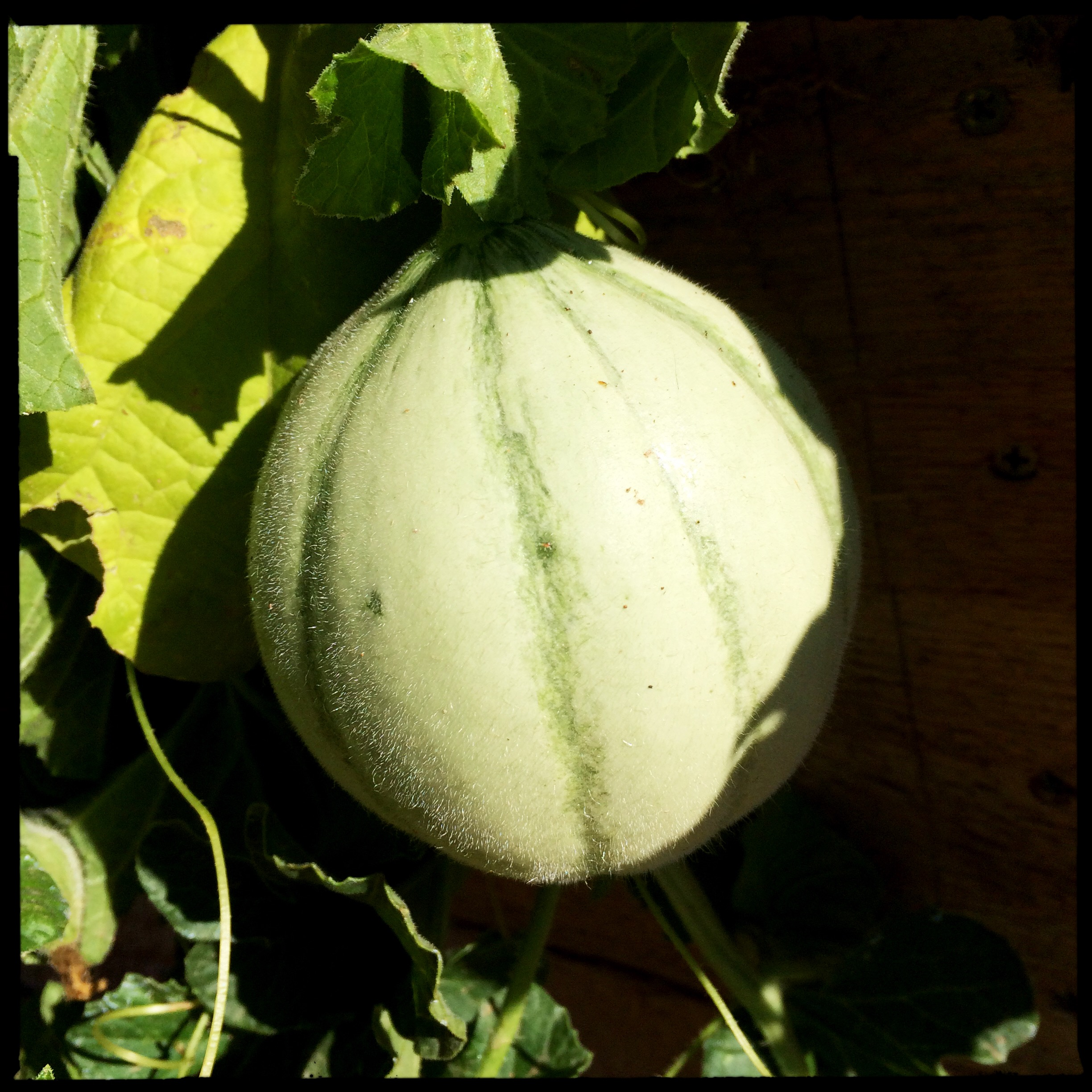... and an undiscovered Alvaro melon off the edge of the raised bed. Fingers crossed these get to ripen before the rodents get them.