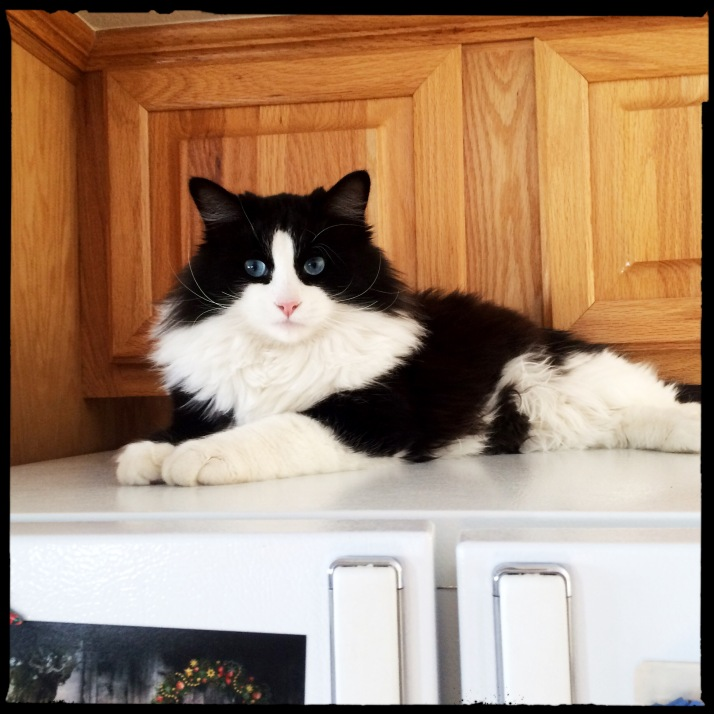 Fred and Mary's cat, Benito, the runt of the litter now bigger than any of them, and still with the bluest eyes, perched atop their fridge the other day.