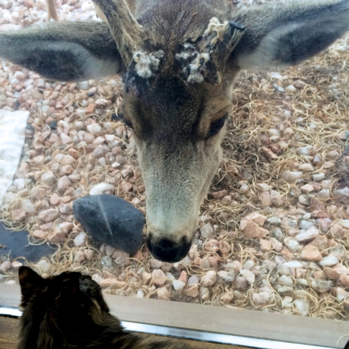 On a window patrol, Topaz goes nose to nose with an even larger animal. What is wrong with that buck's antlers?