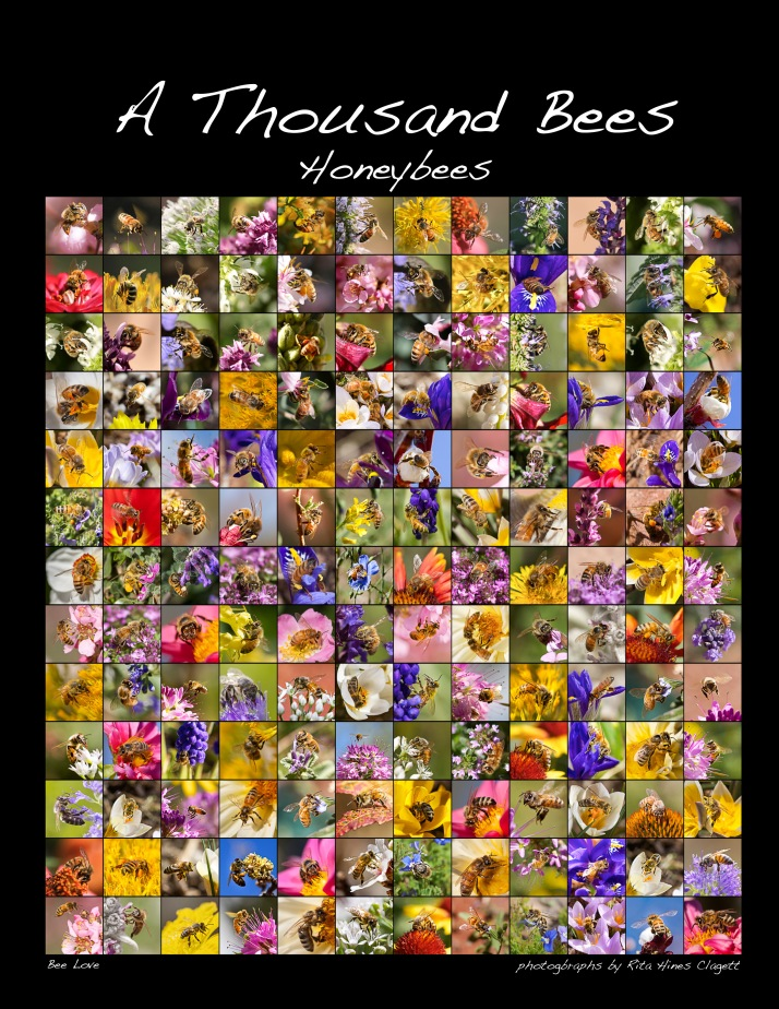 This poster holds 156 (of the thousand) images, and will be printed poster-size. I've also made a poster of 54 native bees, and one of 54 bumblebees. So there's sure to be some bee for everyone to love.