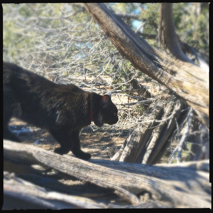 Little black panther in the juniper woods, alternately leaping up trees and chasing his sister as they leapfrog along on our daily walks.