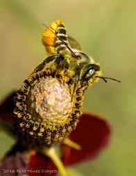 IMG_0002, Megachile