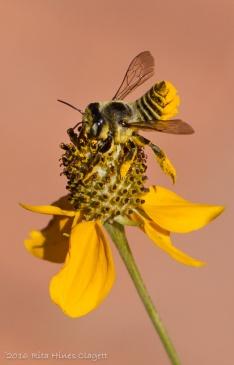 IMG_0023, Megachile