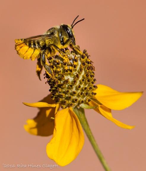 IMG_0026, Megachile