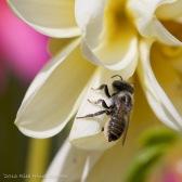 IMG_5279, Megachile