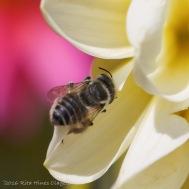 IMG_5282, Megachile